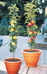 Alberi da frutto in casa quale frutta piantare in vaso for Alberi da frutto in vaso